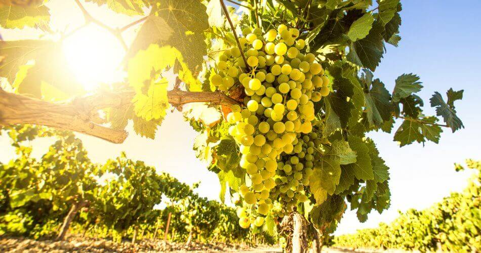 Chardonnay, a rainha das uvas brancas